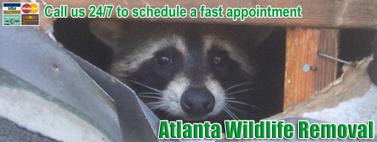 Atlanta Raccoon Removal - Raccoon Control, Trapping in Georgia